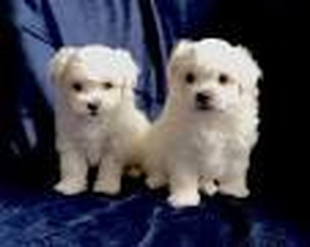 -Cute-maltese-pups-male-and-females-