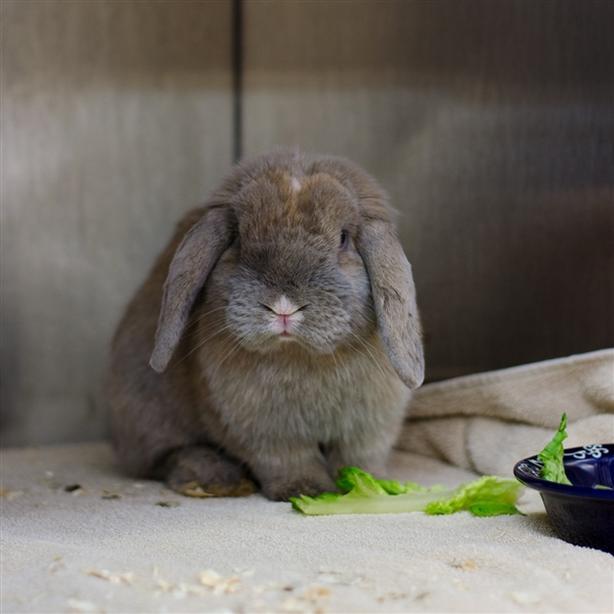 Cliff - Lop Eared Rabbit