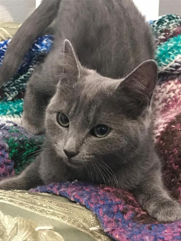 Millie - Domestic Short Hair Kitten