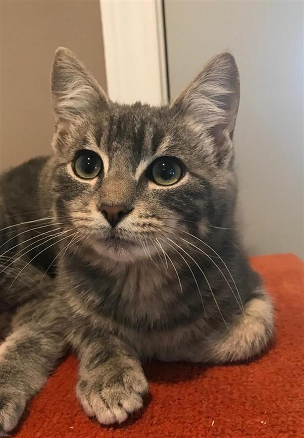 Malcolm - Domestic Short Hair Kitten