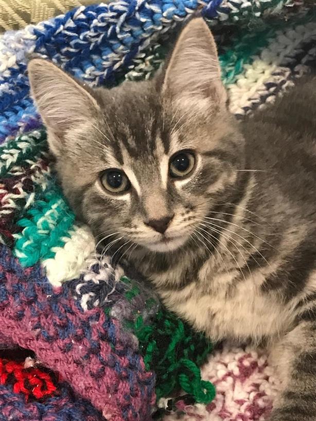 Mason - Domestic Short Hair Kitten