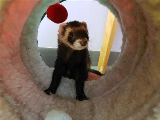 Sable - Ferret Small Animal - Exotic