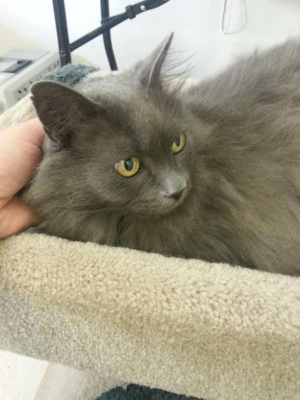 Smokey - Domestic Longhair Cat