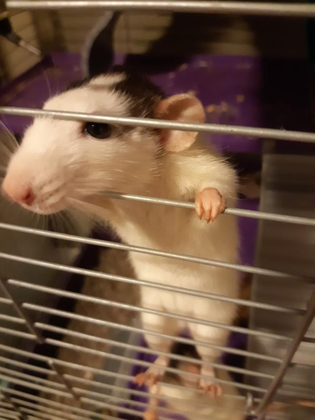 2 Rats Cage And Supplies FREE