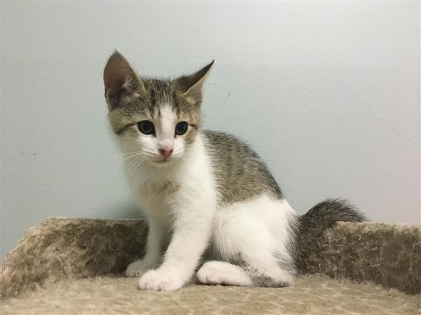 Frankie - Domestic Short Hair Kitten