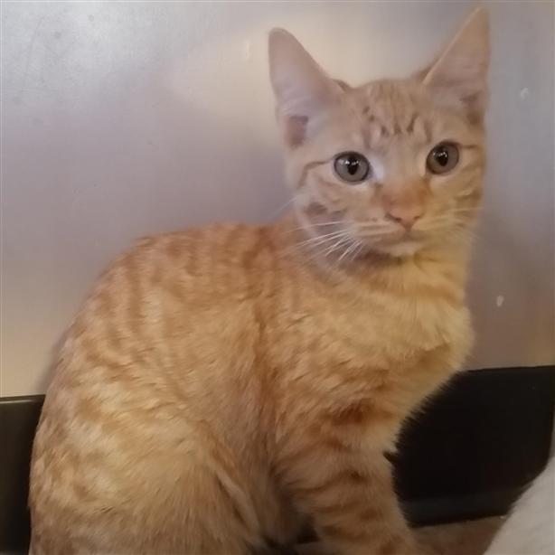 45 - Domestic Short Hair Kitten