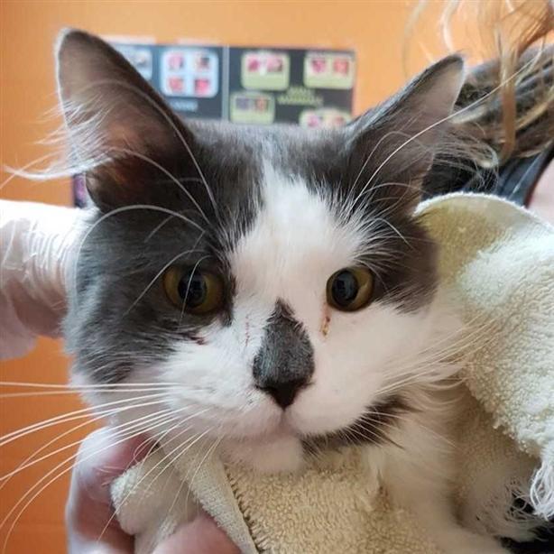 40 Hook - Domestic Medium Hair Cat