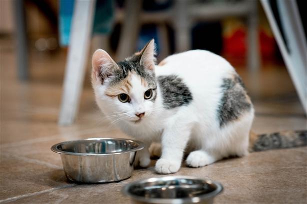 6 - Domestic Short Hair Kitten