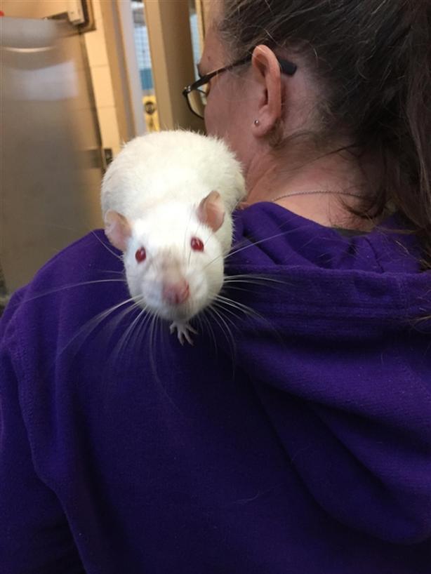 Beacon - Rat Small Animal