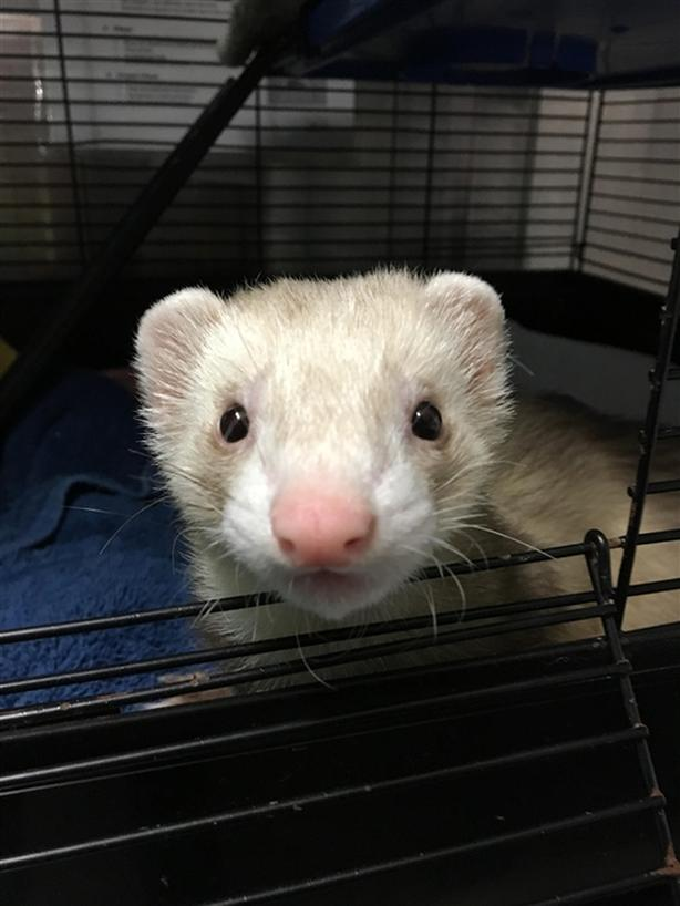 Ferret Fawcett - Ferret Small Animal - Exotic