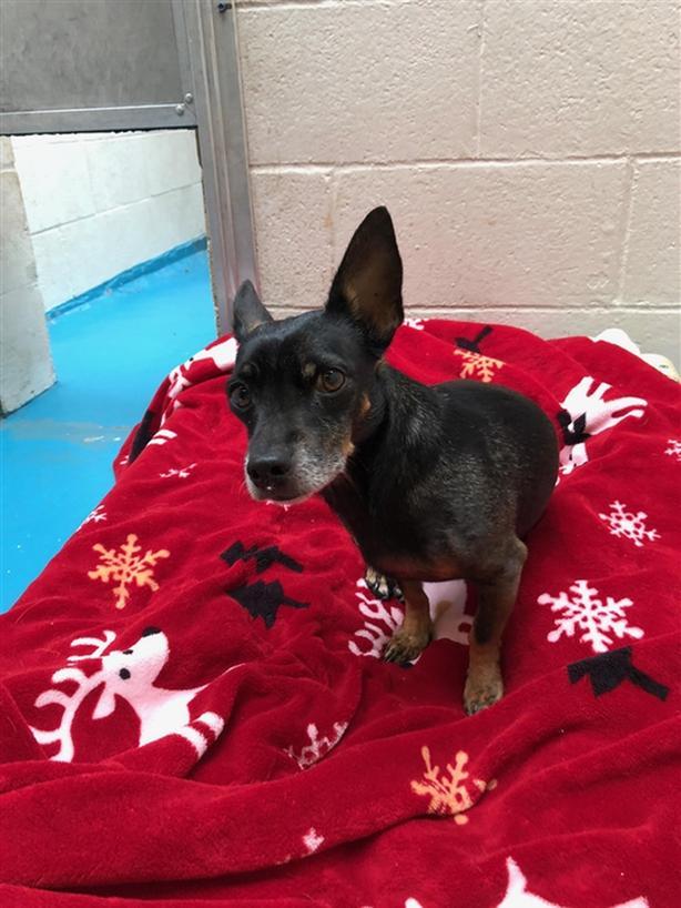 Digidy - Chihuahua Dog