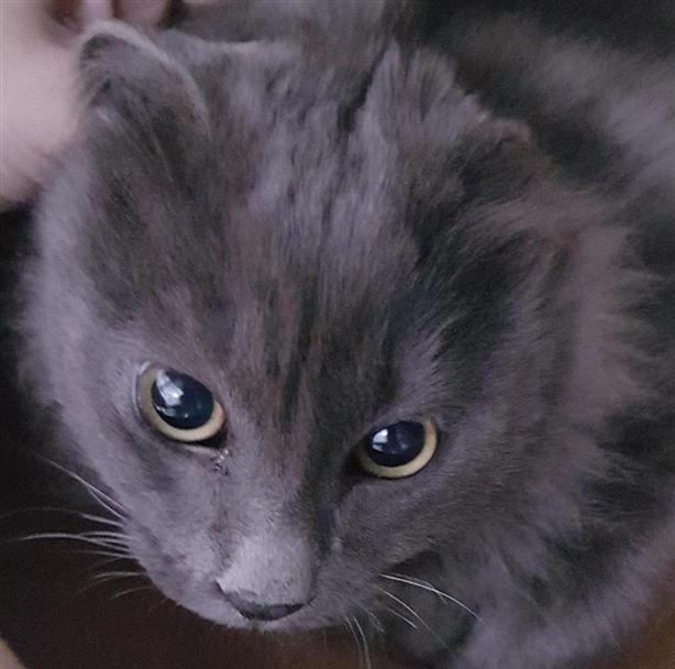 Lewis - Domestic Medium Hair Cat