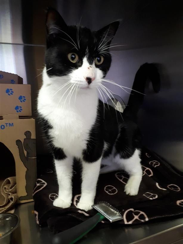 Nermal - Domestic Short Hair Cat