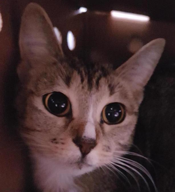 Cocoa - Domestic Short Hair Cat