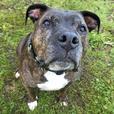 Hugo - Pit Bull Terrier Dog