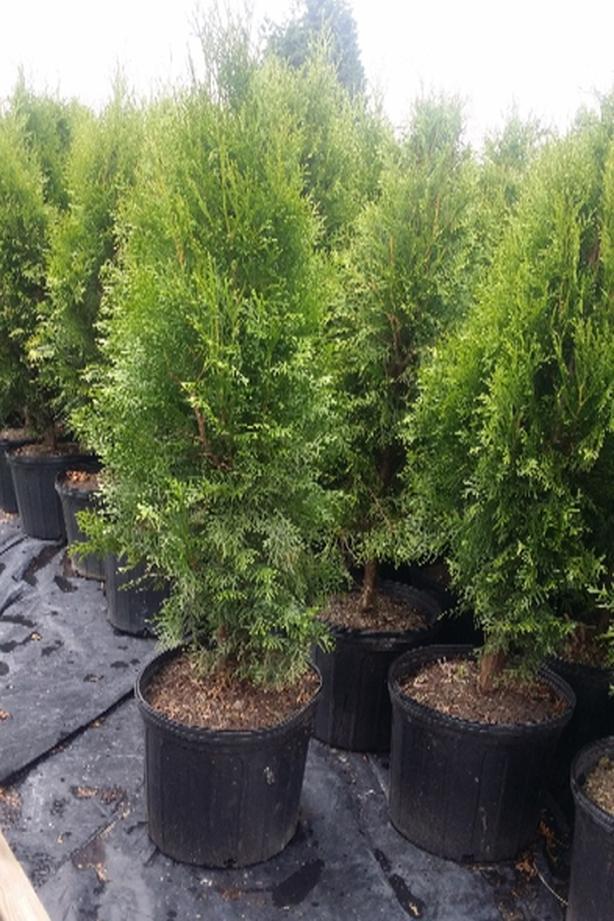 Emerald cedar trees 3 gallon..ONLY $8 each