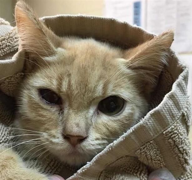 67 - Domestic Short Hair Kitten