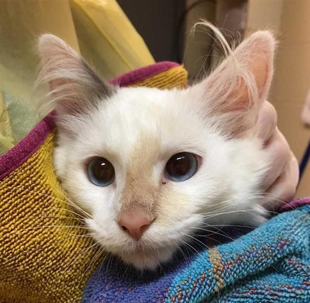 75 - Domestic Medium Hair Kitten