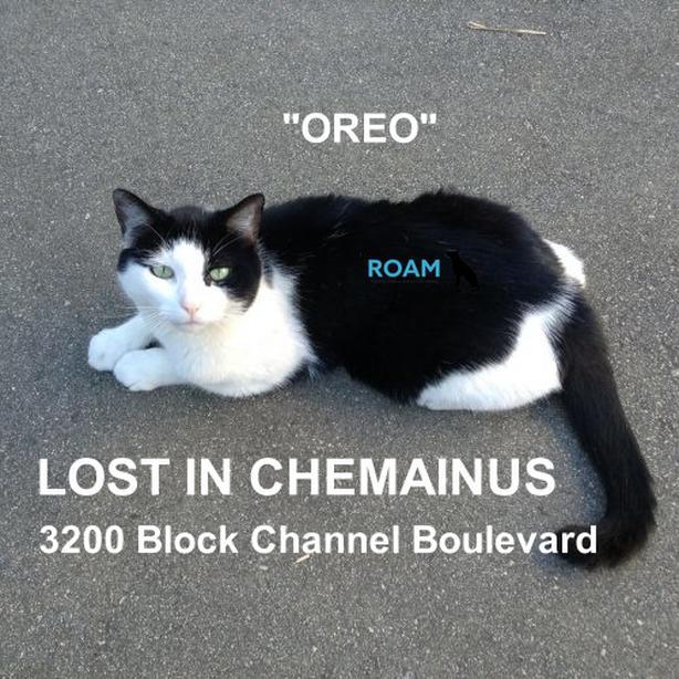 LOST CAT in CHEMAINUS...Oreo