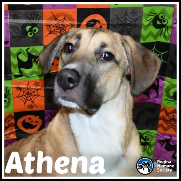Athena - Belgian Malinois Dog North Regina, Regina