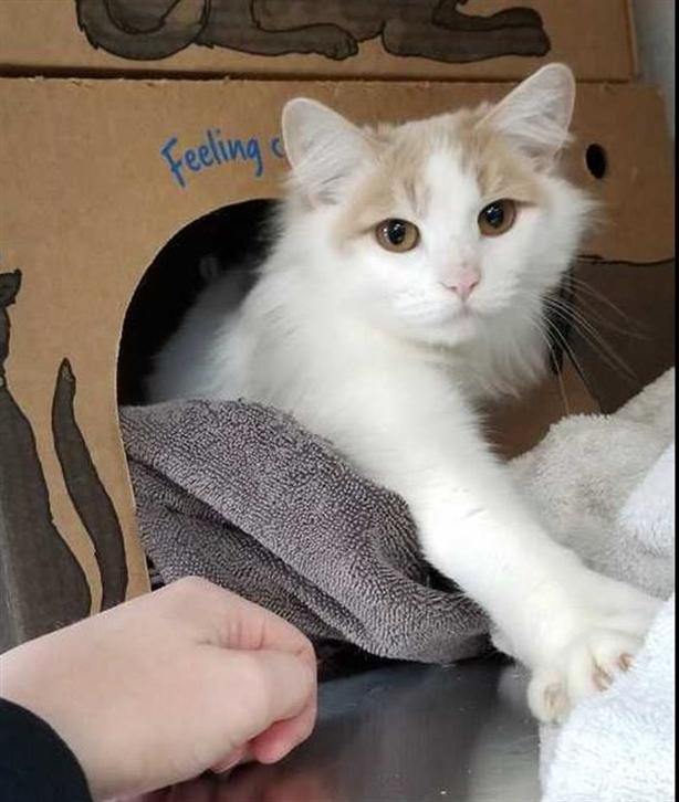 90-Chessie - Domestic Medium Hair Cat