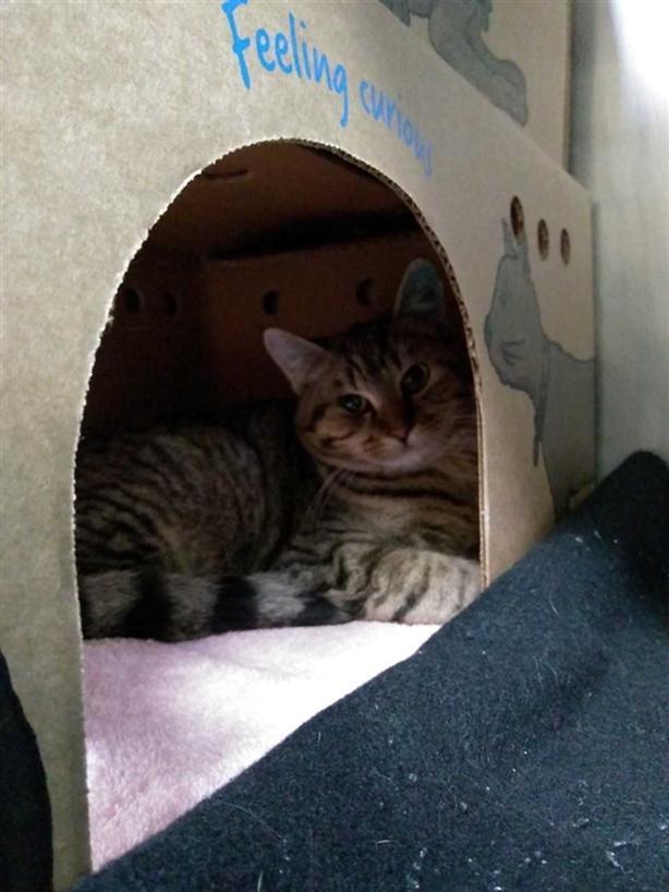 Bart - Domestic Short Hair Cat