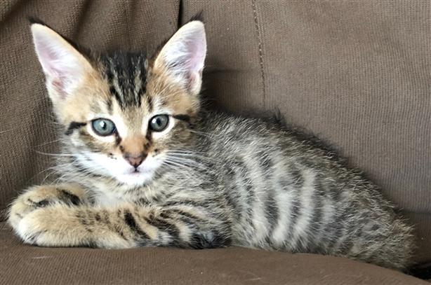 Ruffalo - Domestic Short Hair Kitten