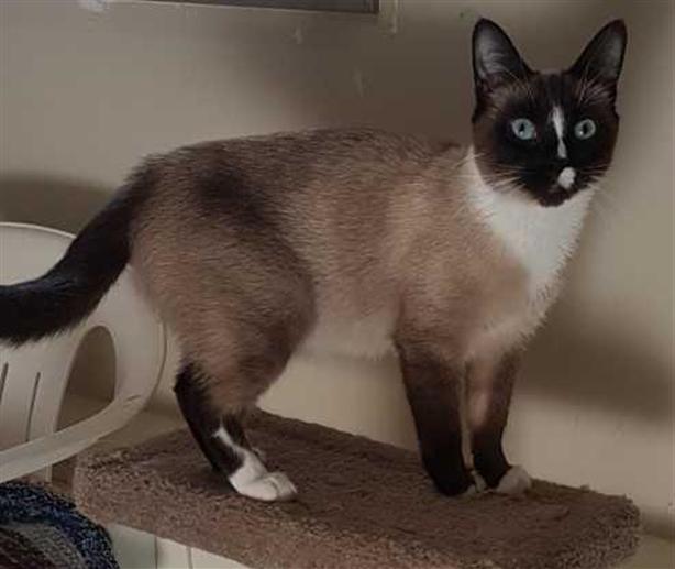Princess - Siamese Cat