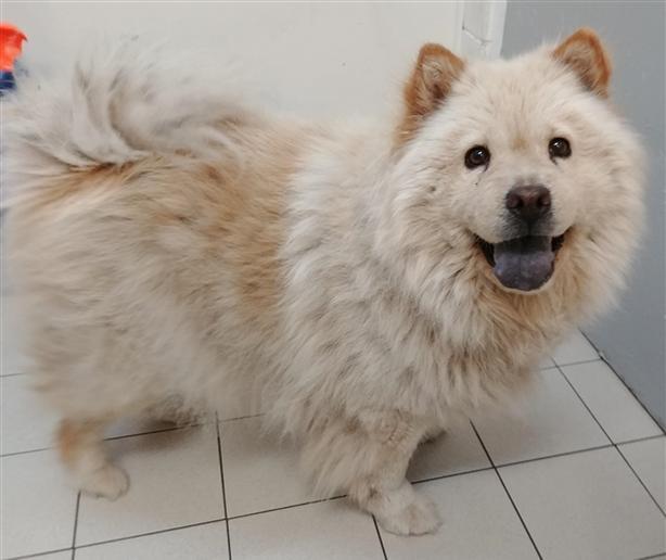 Bailey - Chow Chow Dog
