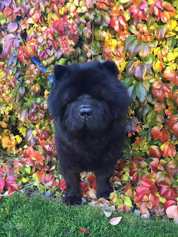 Koda - Chow Chow Dog
