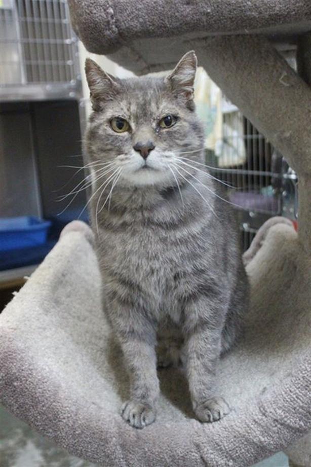Henry - Domestic Medium Hair Cat