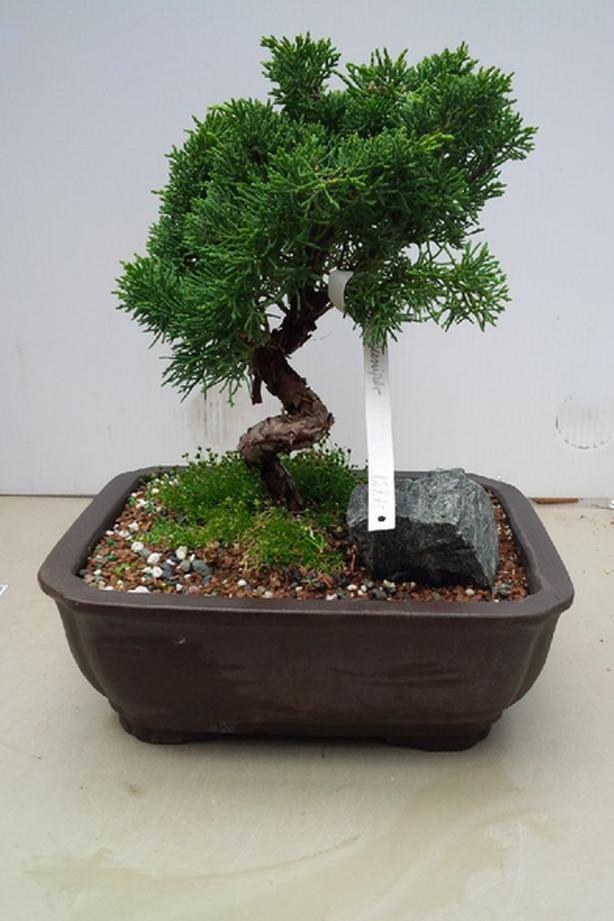 $130 · Shimpaku Juniper Bonsai Wiring Juniper Bonsai on wiring bonsai step by step, trim juniper bonsai, hollywood juniper bonsai, shaping juniper bonsai, chinese juniper bonsai, shimpaku juniper bonsai, wiring rosemary bonsai, starting juniper bonsai,