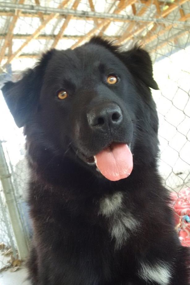 Bella - Labrador Retriever Dog