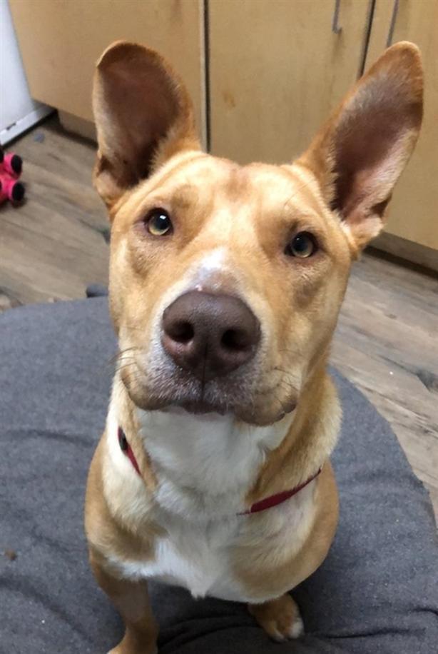 Champ - Pit Bull Terrier Dog