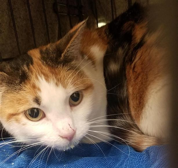 Shameca - Domestic Short Hair Cat