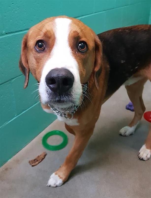 Max - American Foxhound Dog