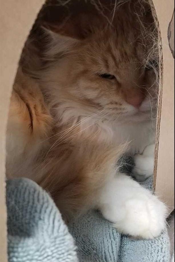 102-Medallion - Domestic Medium Hair Cat
