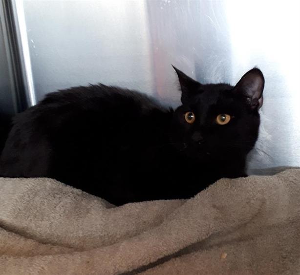 Mogley - Domestic Short Hair Cat