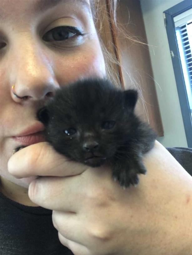 Victtorio - Domestic Short Hair Kitten