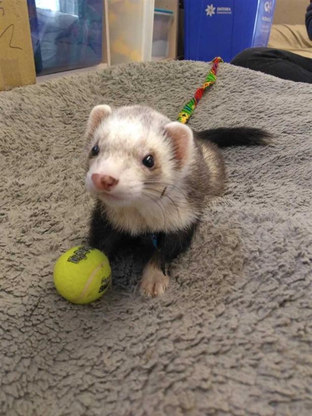 Snoop - Ferret Small Animal - Exotic