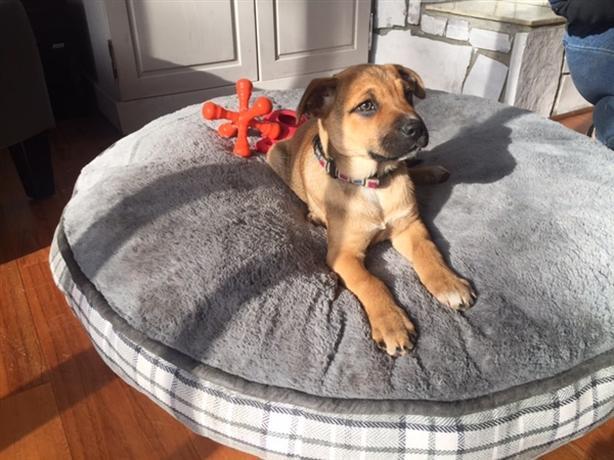 Cherry - Bullmastiff Puppy