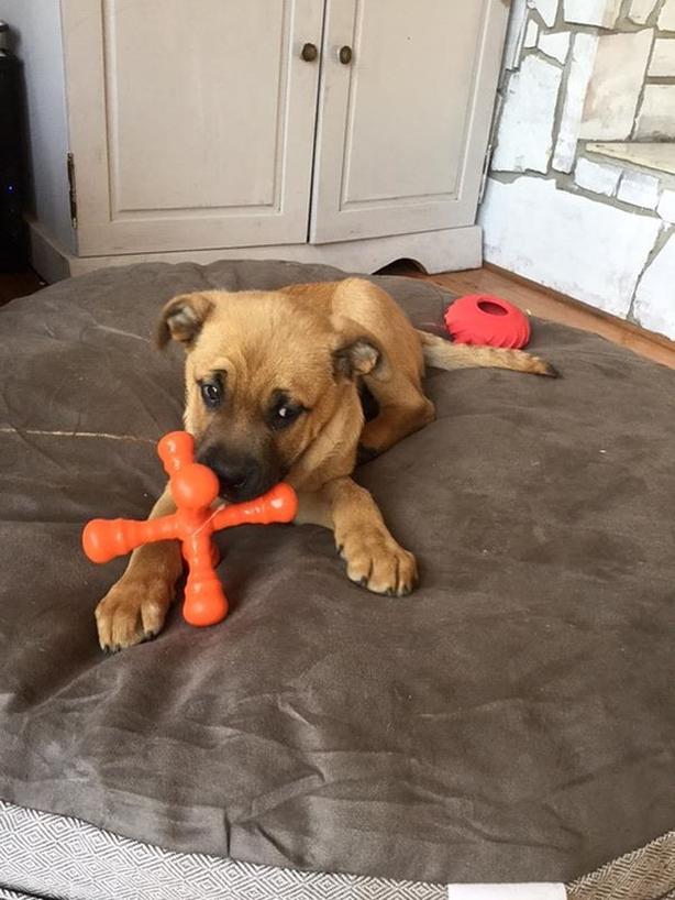 Monkey - Bullmastiff Puppy
