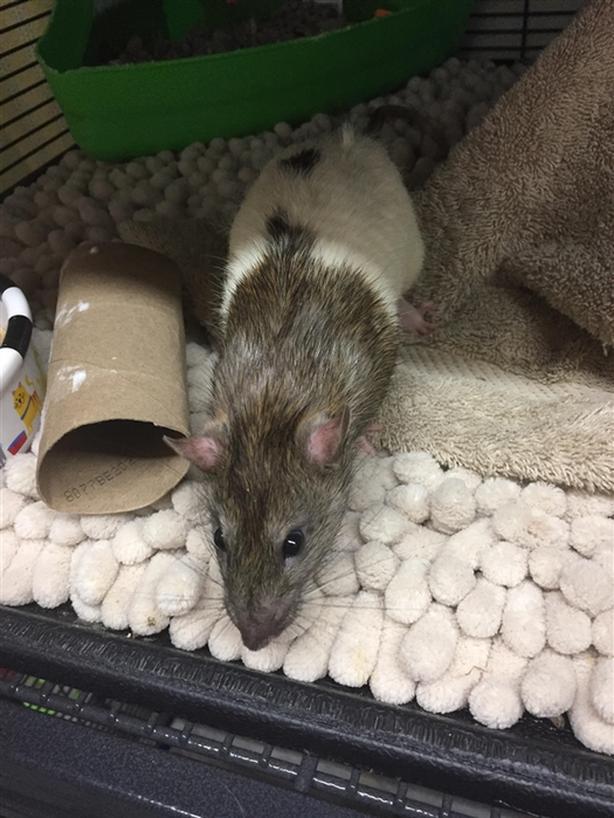 Rizzo - Rat Small Animal