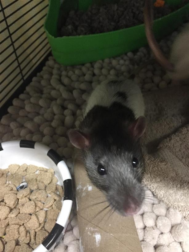 Rufus - Rat Small Animal