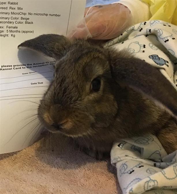 Clover - Rex Rabbit