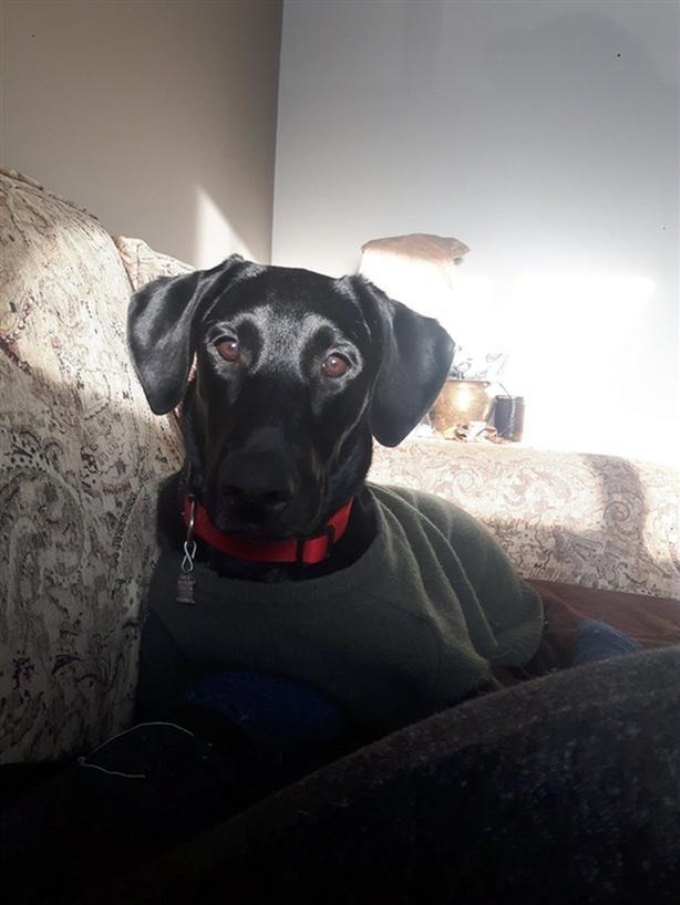Evvie - Labrador Retriever Dog