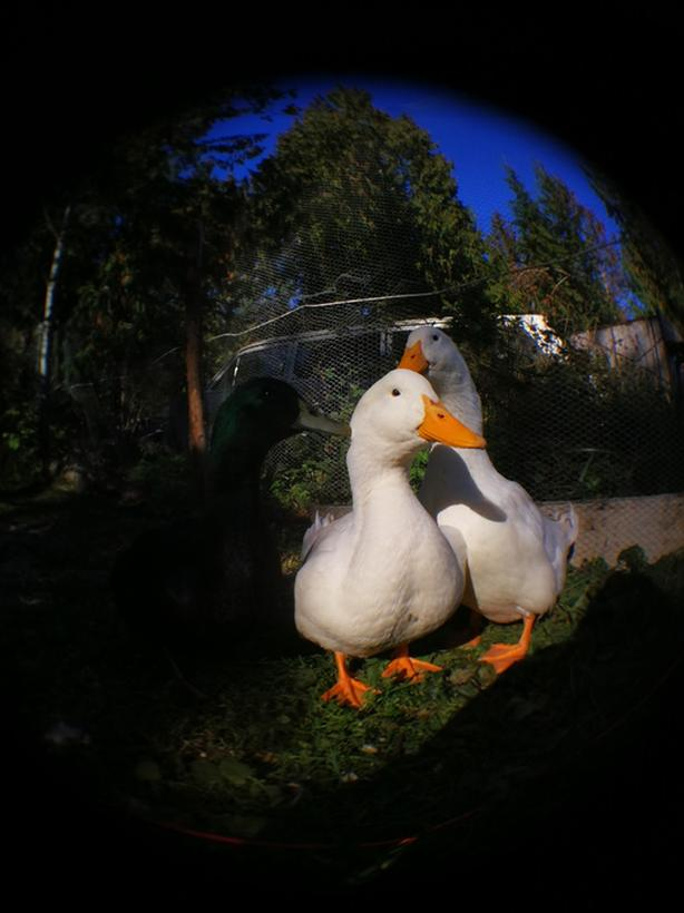 FREE: Male Pekin duck