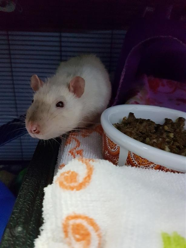 Pippin - Rat Small Animal