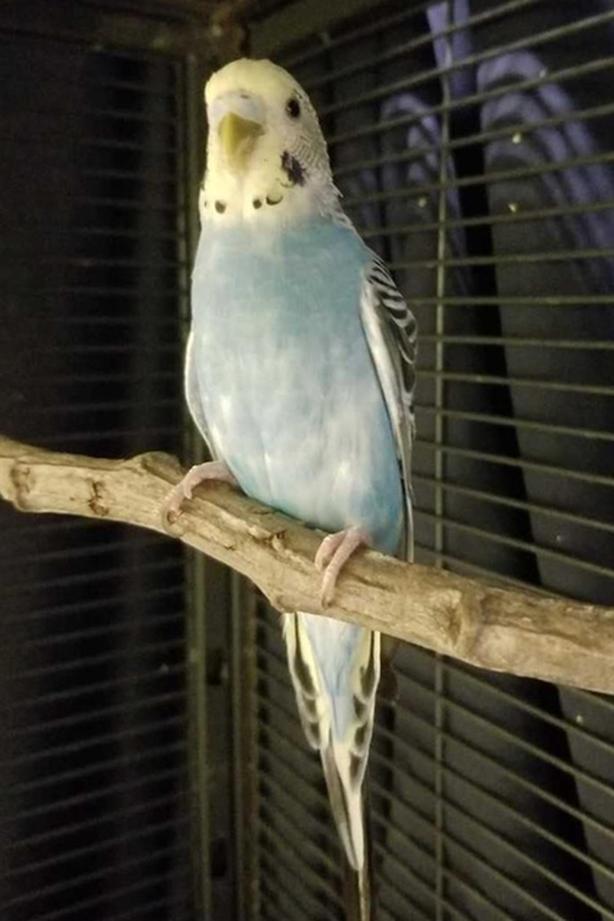 Mona - Budgie Bird - Exotic