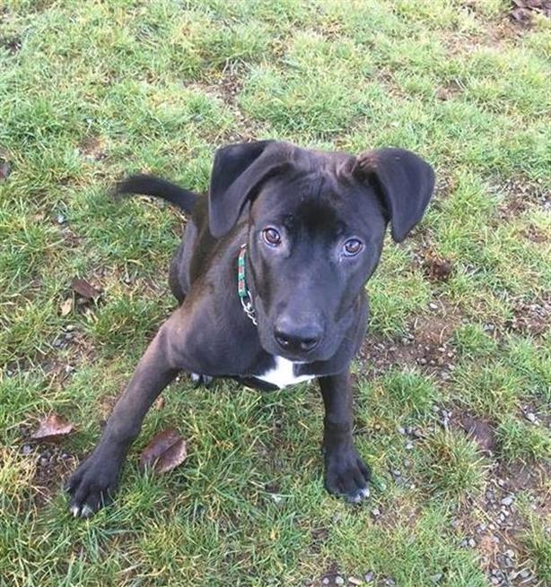 Frankie - Pit Bull Terrier Dog